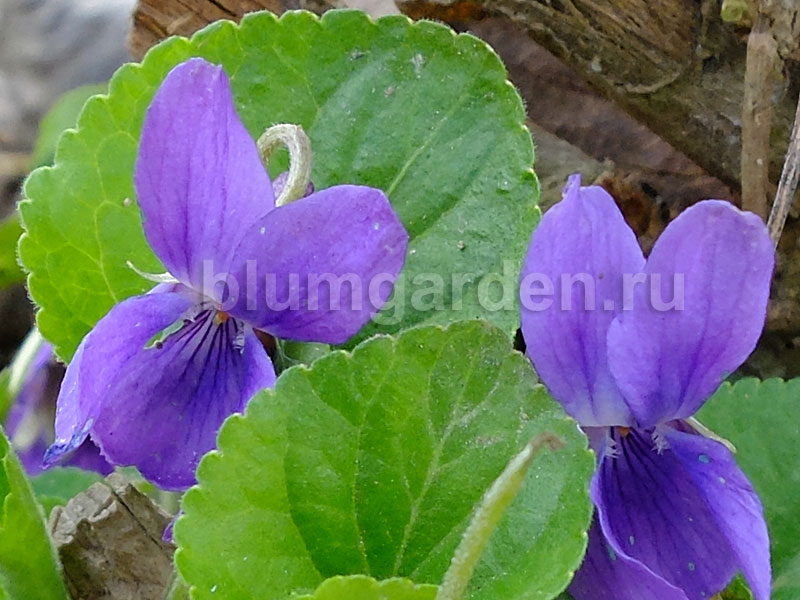 Фиалка душистая синяя © blumgarden.ru