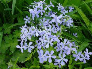 Флокс весенний растопыренный (Phlox Divaricata)