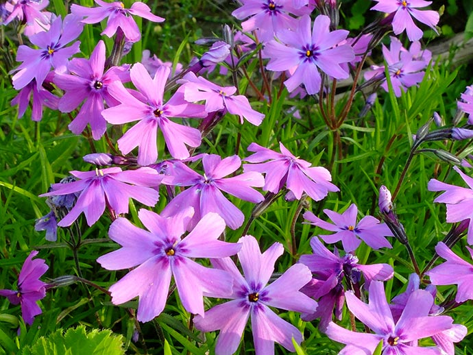 Флокс шиловидный (Phlox Subulata)