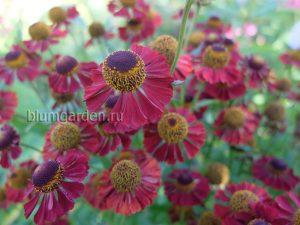 Гелениум осенний Рубинцверг (Rubinzwerg) © Blumgarden.ru