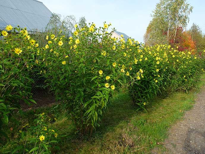 Гелиопсис подсолнечниковидный Lemon Queen © blumgarden.ru