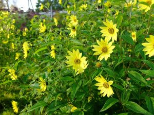 Гелиопсис подсолнечниковидный Lemon Queen, подсолнечник многолетний