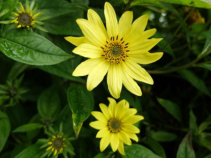Желтый цветок гелиопсис подсолнечниковый © blumgarden.ru