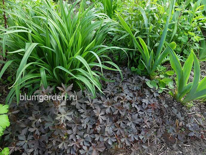 Гернаь Элизабет Энн в саду © blumgarden.ru