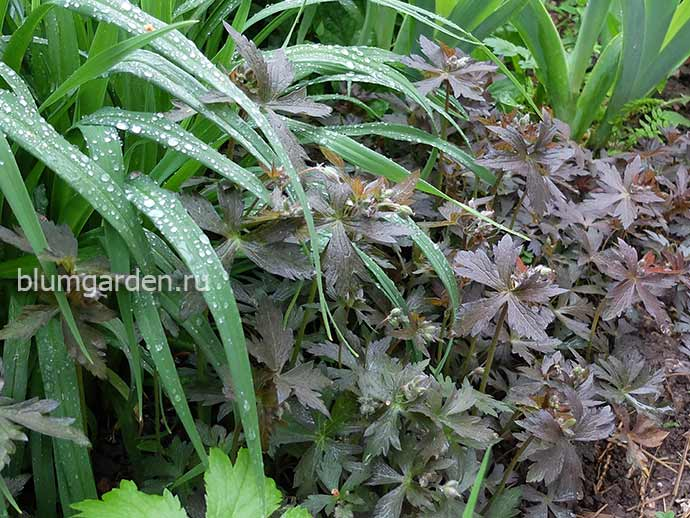 Герань пятнистая Элизабет Энн в саду © blumgarden.ru