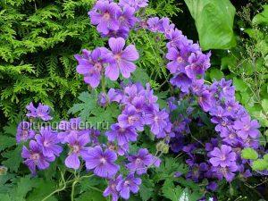 Герань грузинская (Geranium Ibericum)