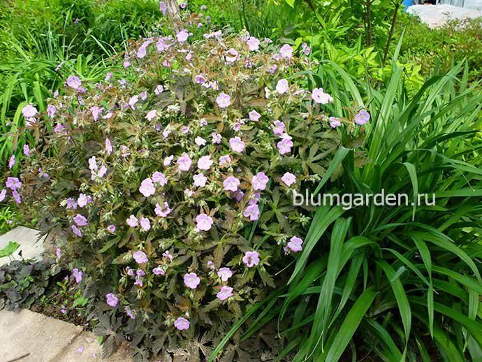 Цветущая герань Элизабет Энн и лилейник - контрасты в саду © blumgarden.ru