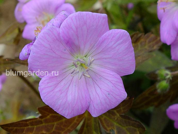 Герань пятнистая Элизабет Энн (Geranium Maculatum Elizabeth Ann)