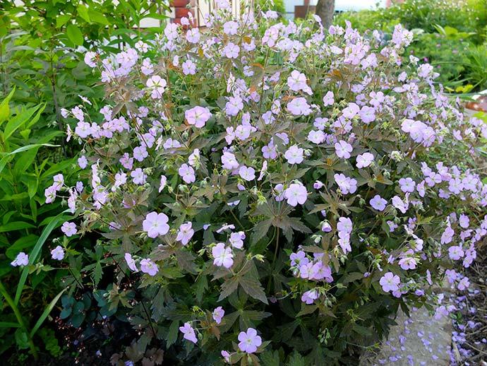 Герань пятнистая «Элизабет Энн» (Geranium Maculatum Elizabeth Ann)