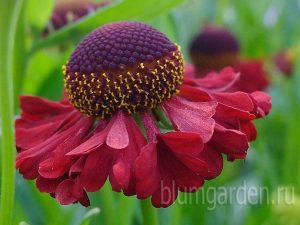 Гелениум осенний «Рубинцверг» (Helenium Autumnale Rubinzwerg)