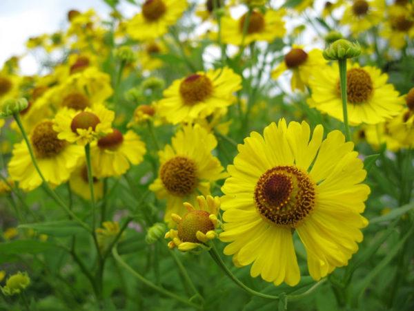 Гелениум осенний желтый © blumgarden.ru
