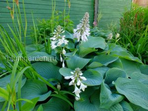 Хоста «Блю Энджел» (Hosta Blue Angel)