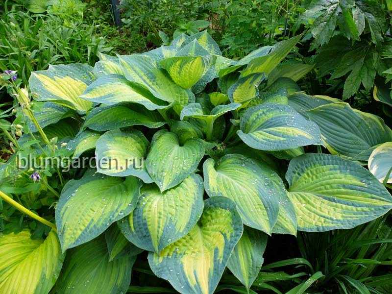 Хоста «Полс Глори» (Hosta Paul's Glory)