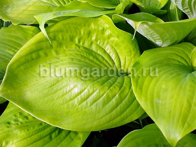 Хоста «Сам энд Сабстэнс» (Hosta Sum And Substance)