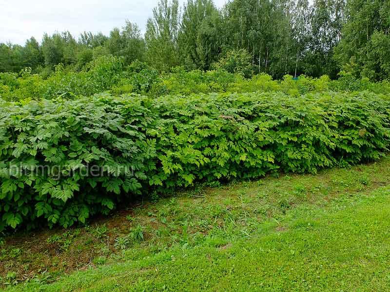 Изгородь из волжанки двудомной (питомоник) © blumgarden.ru