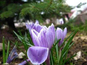 Крокус - декоративно-лабильное растение