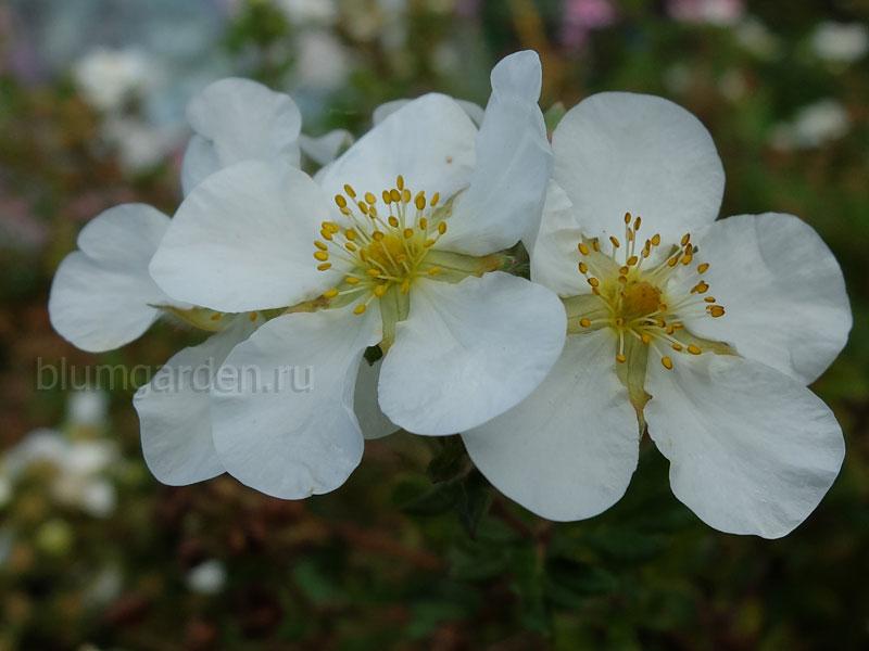 Лапчатка кустарниковая белая © Blumgarden.ru