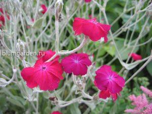 Лихнис корончатый (Lychnis Coronaria)