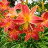 Лилейник красный «Алан» (Hemerocallis hybrida Alan) © blumgarden.ru