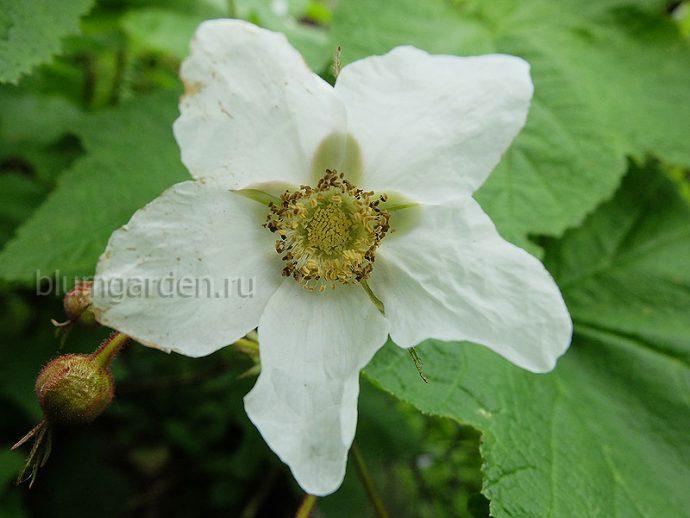 Малиноклен, малина душистая (Rubus Odoratus) © Blumgarden.ru