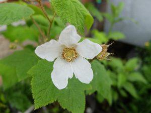 Малиноклен душистый (Rubus Odoratus), малиноклен нутканский