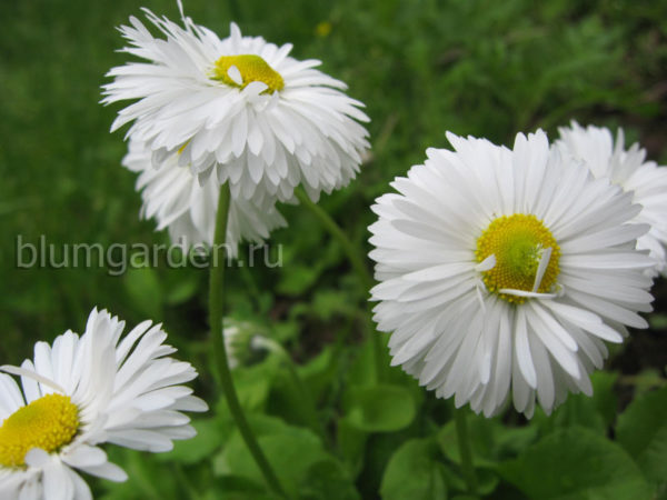 Маргаритка белая © blumgarden.ru