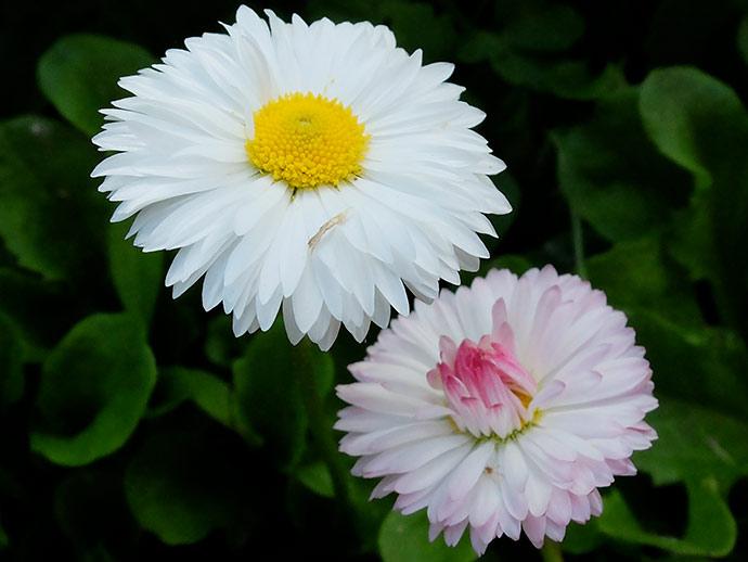 Маргаритки белые цветы и розовые © blumgarden.ru