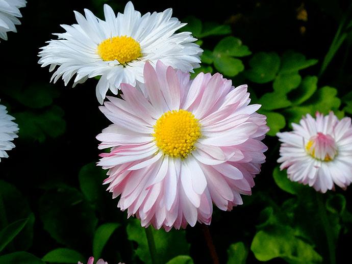 Белые и розовые маргаритки © blumgarden.ru