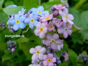 Незабудка альпийская голубая и розовая © Blumgarden.ru