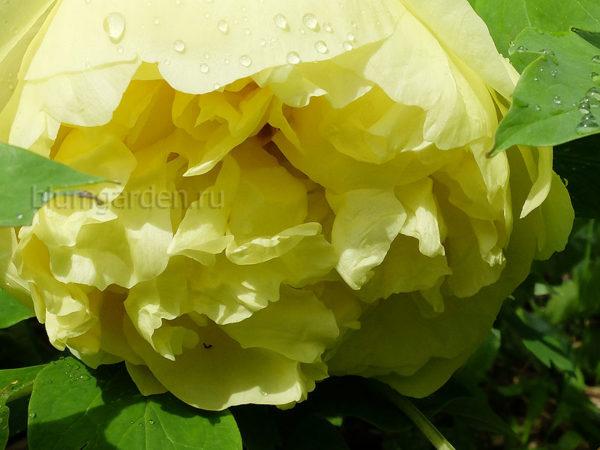 Пион Yellow Crown © blumgarden.ru
