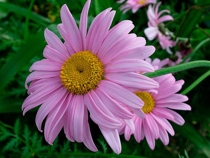 Пиретрум розовый © blumgarden.ru