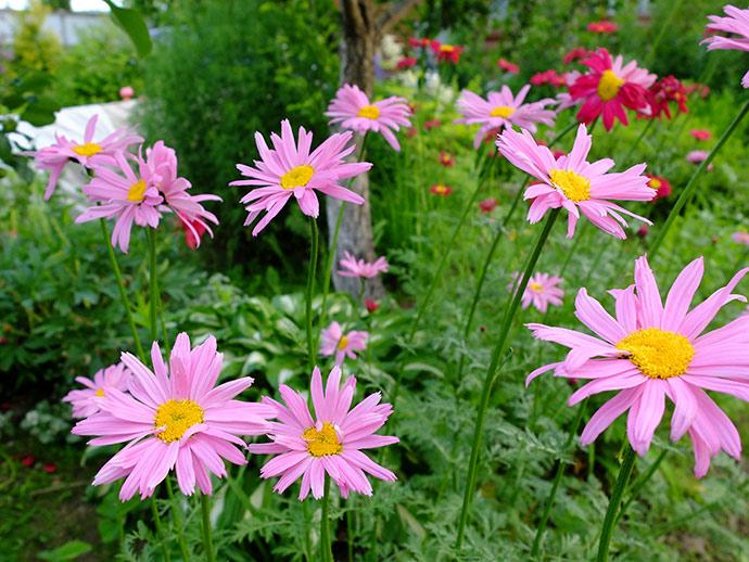 Пиретрум гибридный розовый © blumgarden.ru