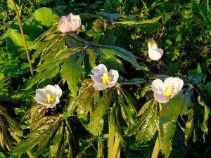 Подофилл Эмода, гималайский (Podophyllum Emodi)