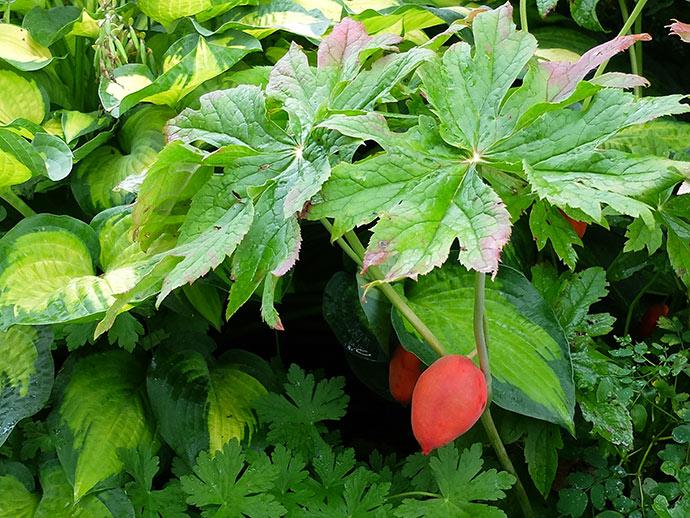 Плод ягода подофилла Эмода © blumgarden.ru