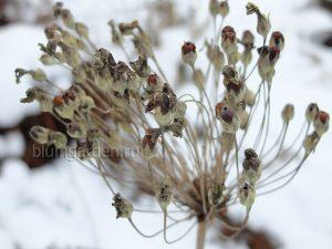 Подзимний посев семян - семена примулы