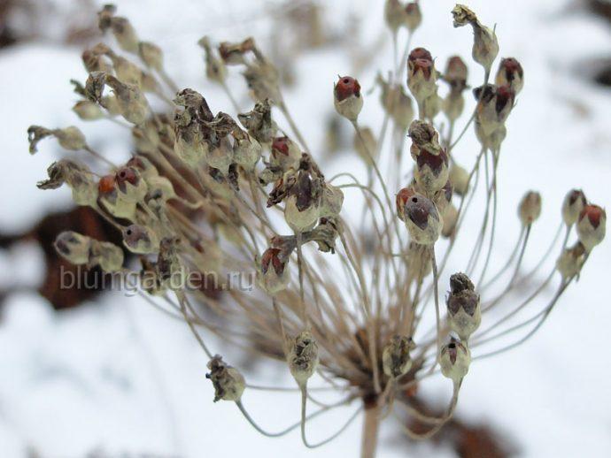 Семена примулы Флоринда © blumgarden.ru