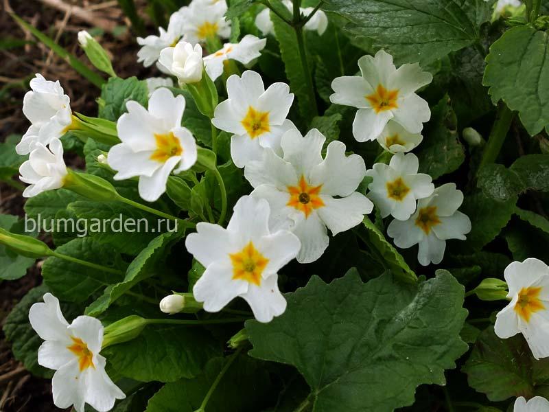 Примула Юлии белая (Primula Juliae) © blumgarden.ru