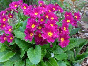 Примула Юлии (Primula Juliae)