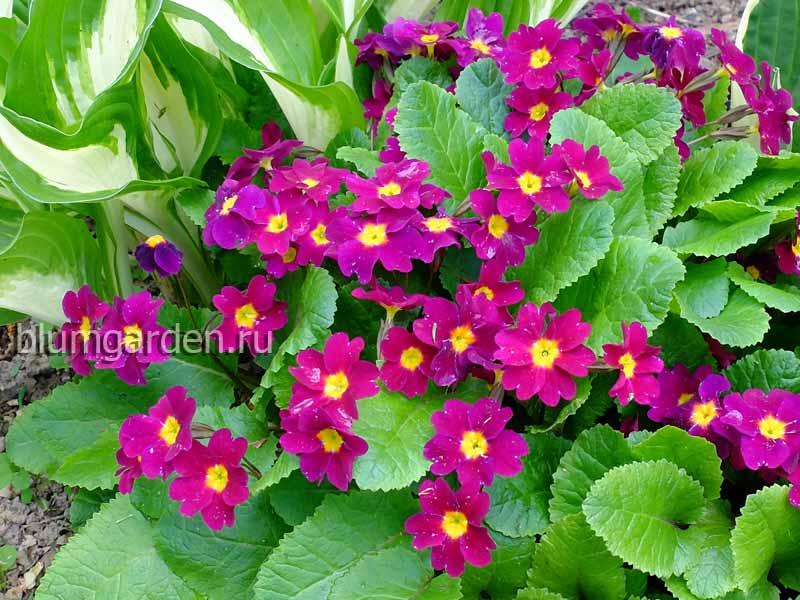 Примула Юлии (Primula juliae) © blumgarden.ru
