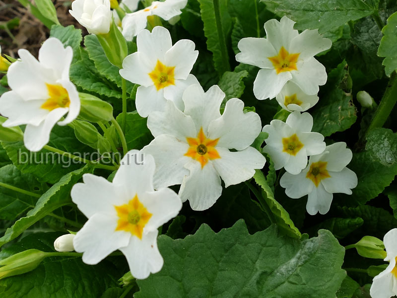 Примула Юлии белая (Primula Juliae)