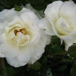 Розы садовые © blumgarden.ru