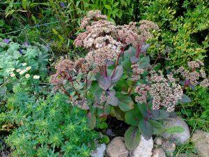 Седум очиток видный Матрона в саду © Blumgarden.ru