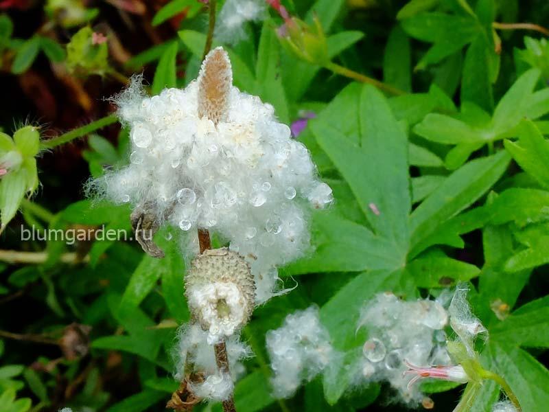 Семена анемоны лесной © blumgarden.ru