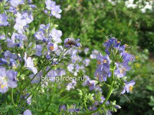 Синюха голубая (Polemonium Caeruleum)