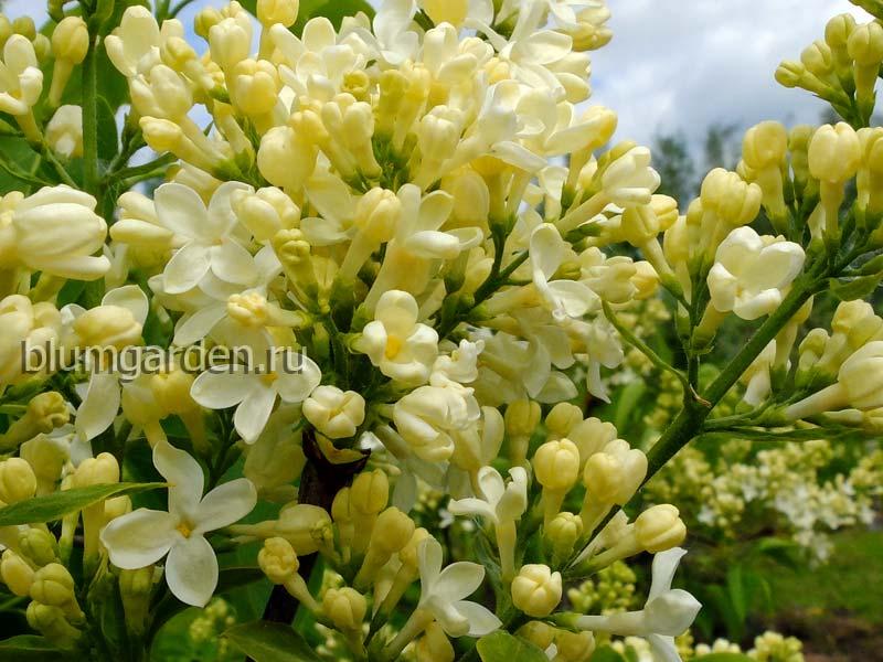Сирень желтая Примроуз (Primrose)