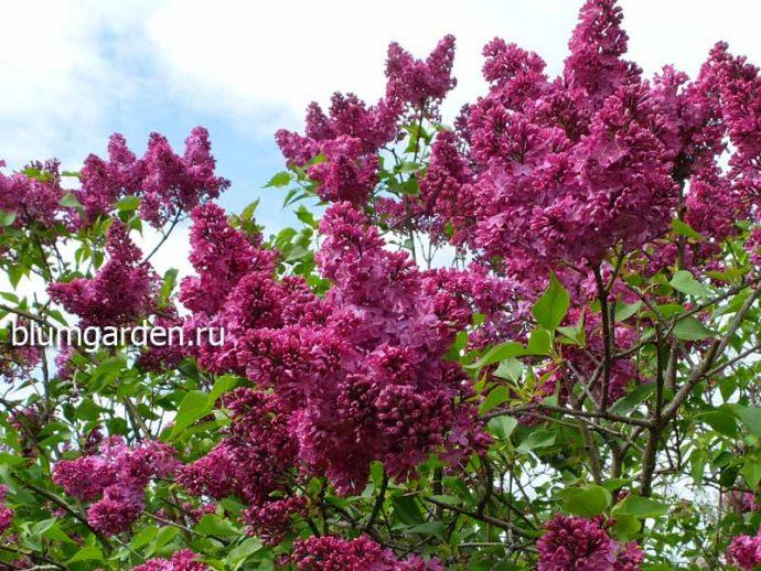 Сирень обыкновенная Индия - цветущие кусты © blumgarden.ru