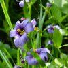 Сизиринхиум узколистный (Sisyrinchium) © blumgarden.ru