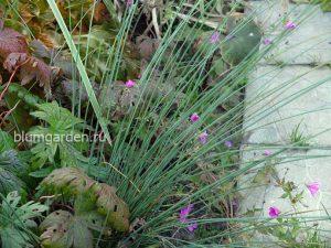 Ситник развесистый (Juncus effusus) © blumgarden.ru