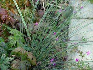 Ситник развесистый (Juncus Effusus)