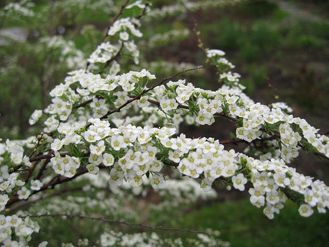 Цветущая ветвь спиреи Грефшейм © blumgarden.ru
